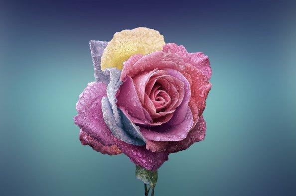 rose-729509